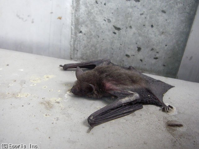 アブラコウモリの画像 p1_12